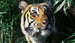 Tygří populaci se v poslední době v Indii daří